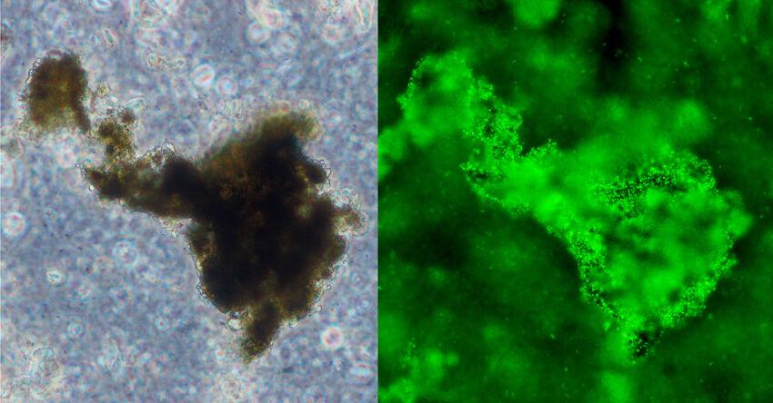 Mikroskopische Aufnahme einer Mikroorganismen-Erz-Interaktion (Durchmesser des Erzes ca. 200 μm); links: Phasenkontrast-Aufnahme einer Erzpr