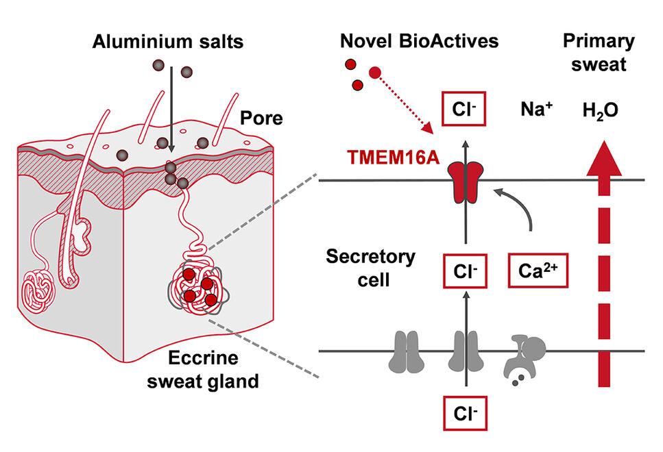 Wirkprinzip neuartiger BioActives, die zur Reduktion der Schweißbildung den Ionenkanal TMEM16A in den ekkrinen Schweißdrüsen des Menschen be